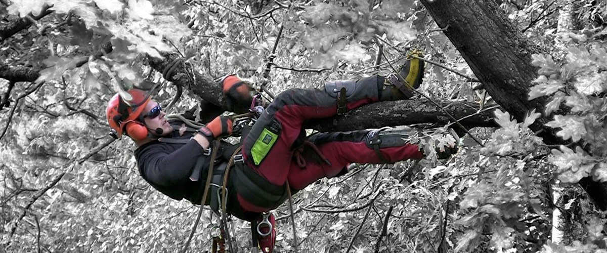 Tree surgeon working from a harness in a tree in winter (FAW+F)